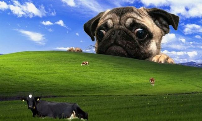 windows desktop wallpaper hacked, pug looking at cows on grassy knoll