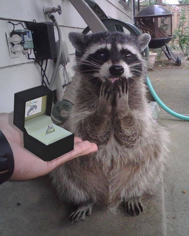 when you propose to your raccoon girlfriend and she says yes