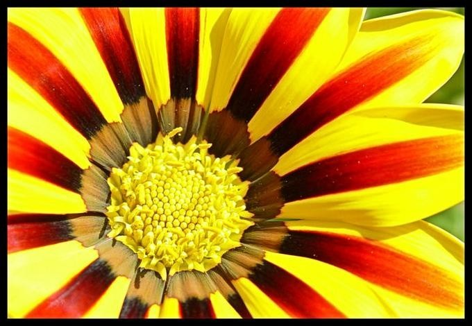 yellow and red petal flower in full bloom, nature is beautiful