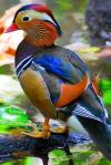 behold the mandarin duck, the most colourful duck in the world