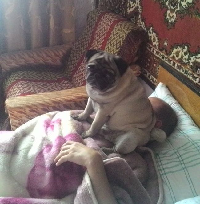 pug sitting on owner's face in bed