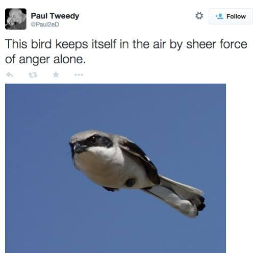 this bird keeps itself in the air by sheer force of anger alone