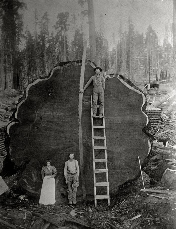 just some people standing in front of a giant tree trunk that they just cut down