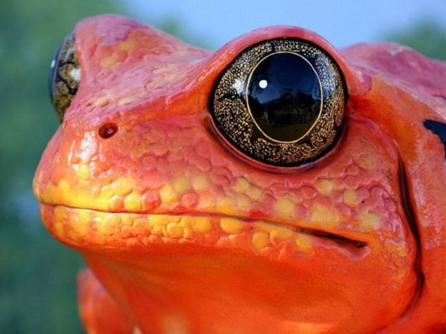 macro photograph of a red frog with intricate eyes, nature