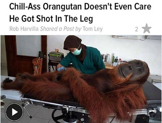 chill ass orangutang doesn't even care he got shot in the leg