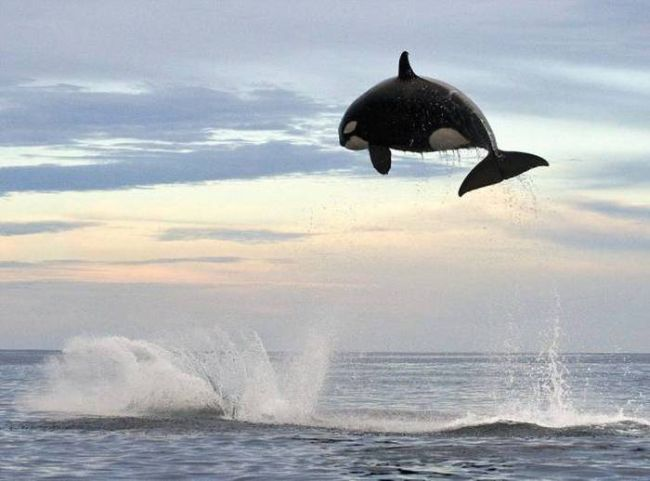 killer whale jumps really high out of water