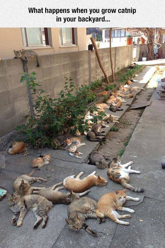 what happens when you grow catnip in your backyard, tons of cats
