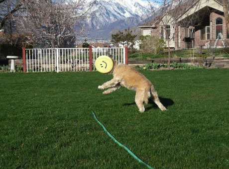 dog misses frisbee but not unhappy about it, timing