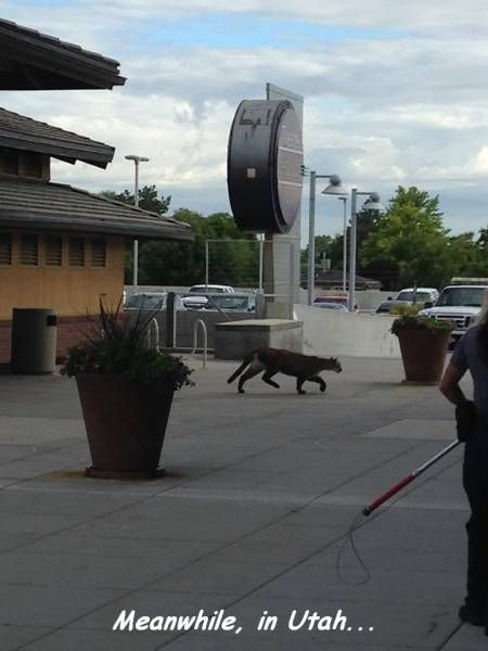 meanwhile in utah, cougar in the city