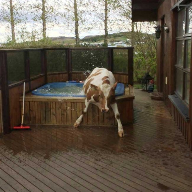just a cow stuck in my hot tub
