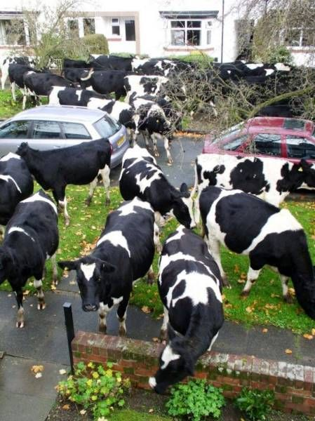 don't have a cow man, have ten or more!, many cows on residential street