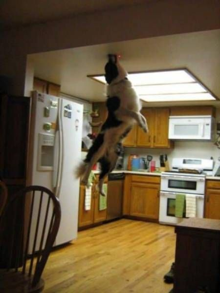apparently dogs can jump really high too, this dog thinks he is a cat and chases lasers
