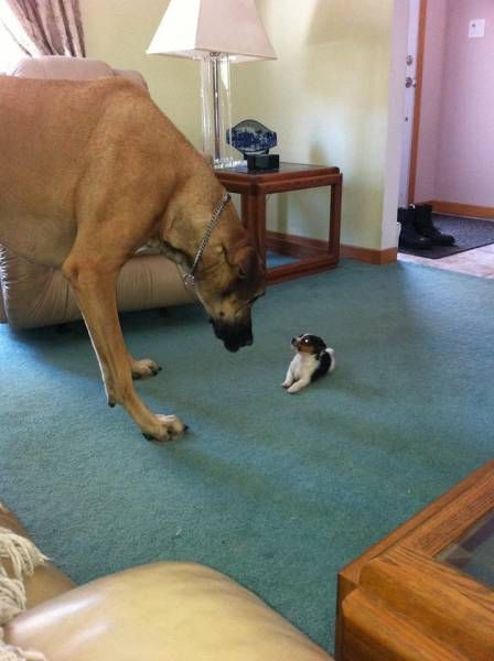 big dog versus tiny dog
