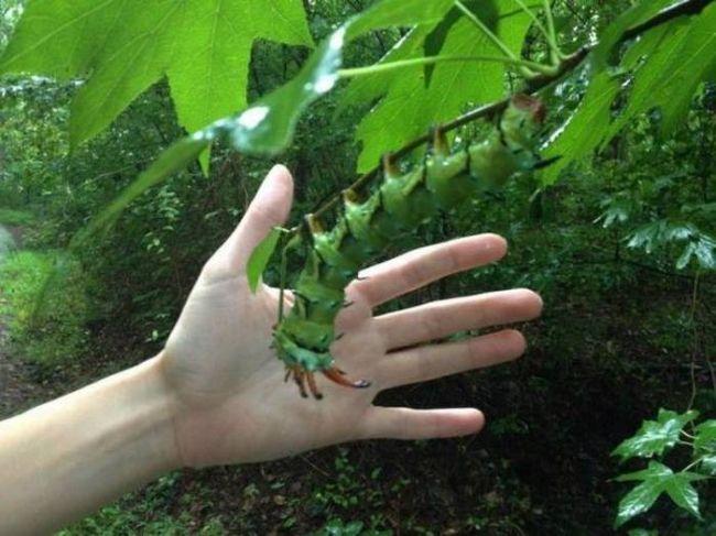giant fucking caterpillar
