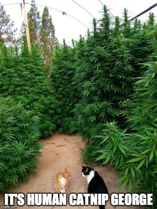 it's human catnip george, marijuana forest, meme