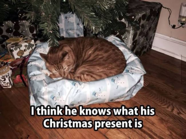 i think he knows what his christmas present is, cat sleeping on wrapped cat bed