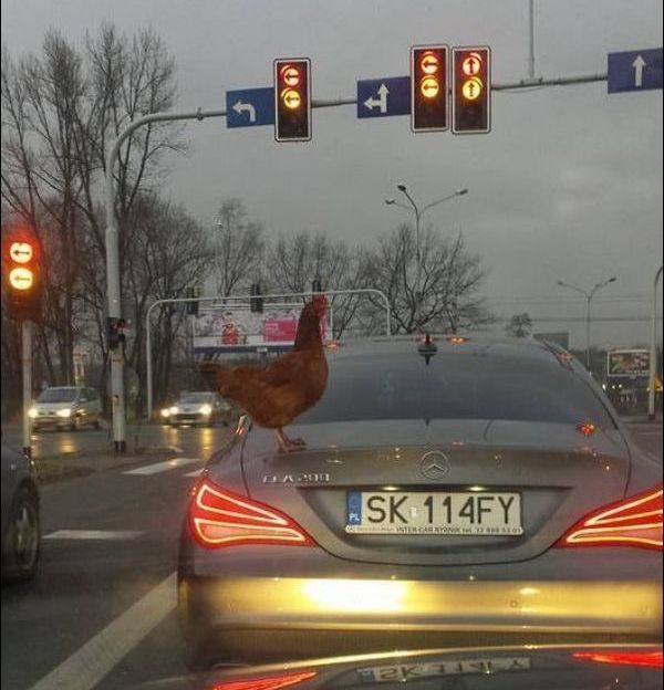 rooster on back of car at intersection, wtf