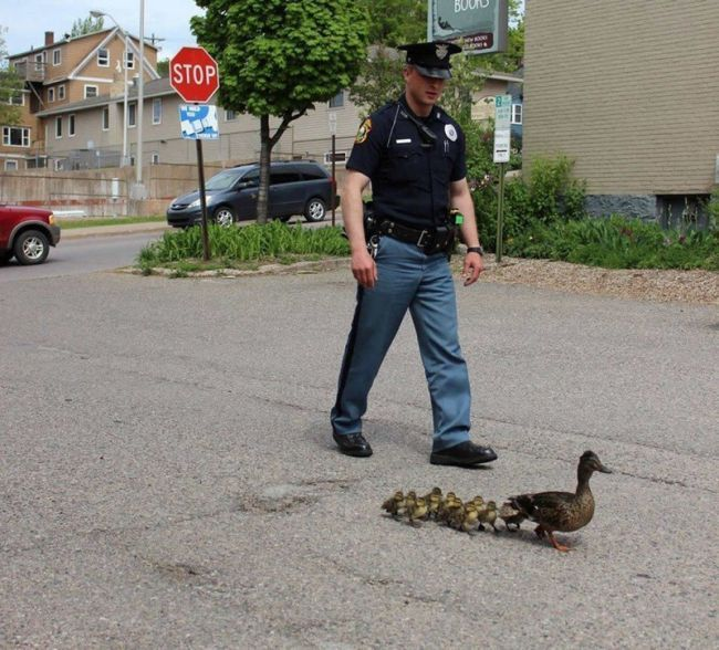 officer escorting duck and ducklings across the road