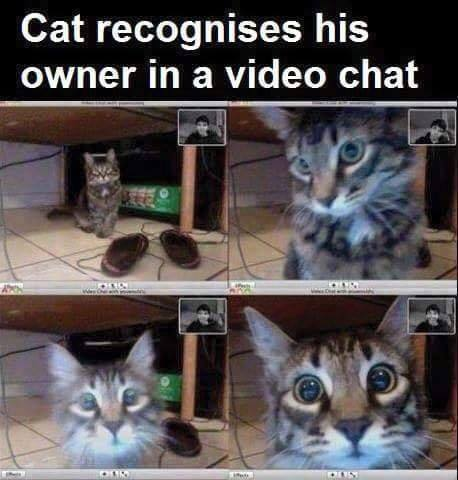 cat recognizes his owner in a video chat