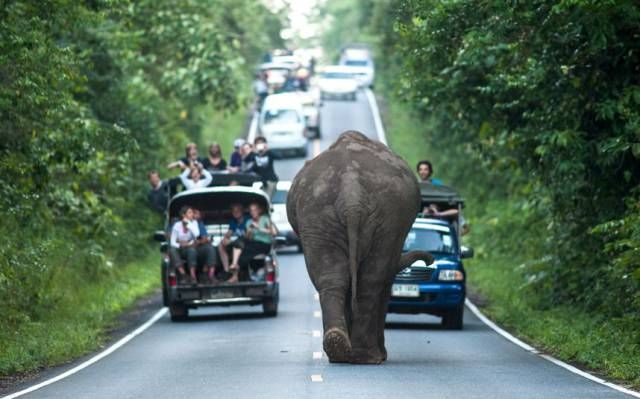 just an elephant strolling down the road, blocking traffic