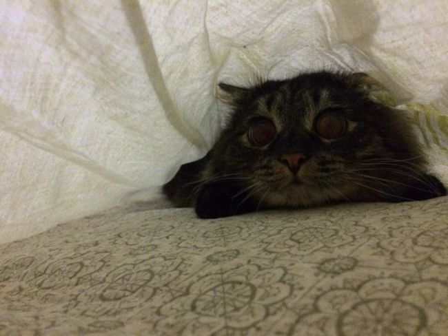 cat under the covers looking nervous