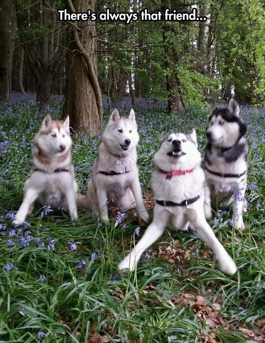 there's always that friend, four huskies posing for the camera