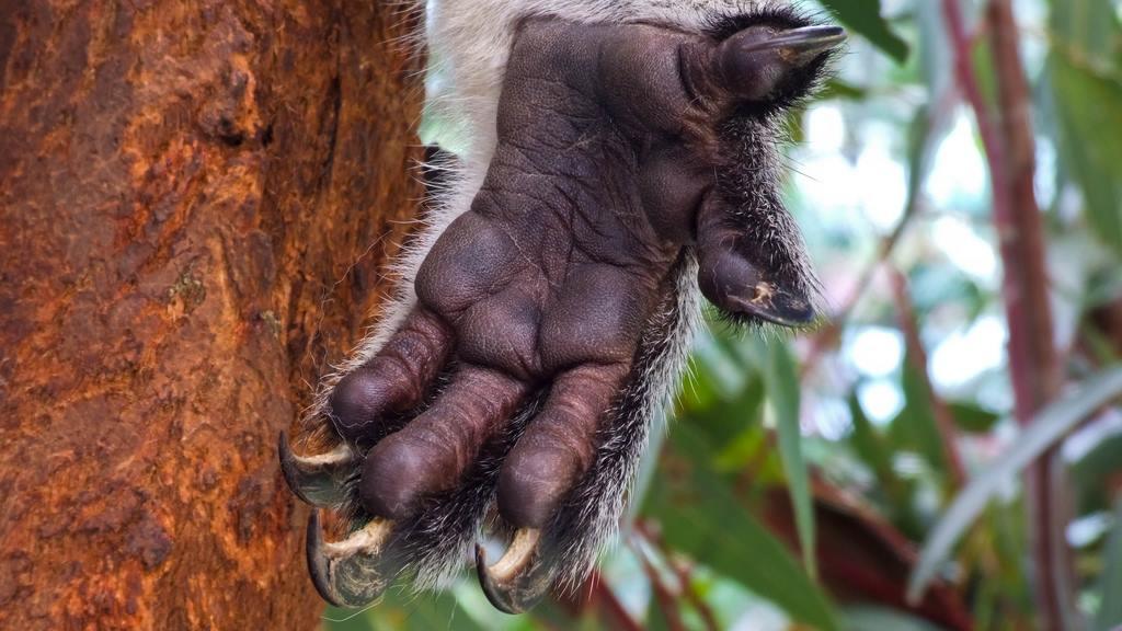 A koalas hand