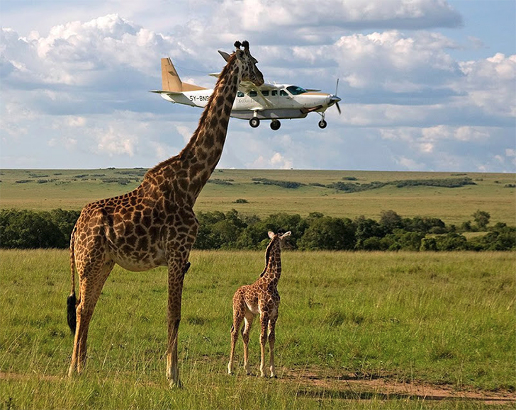 mother giraffe feeding her young a small plane
