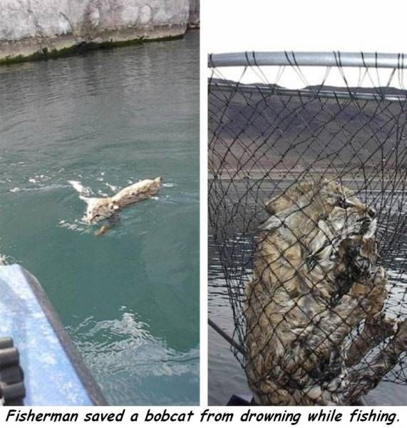 fisherman saved a bobcat from drowning while fishing