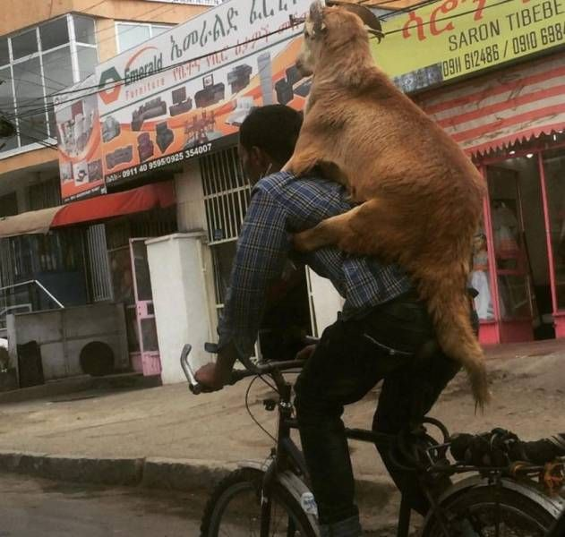 bringing your dog home from work on your bicycle, piggy back dog