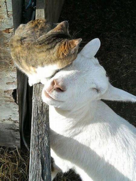 cat and goat cuddling