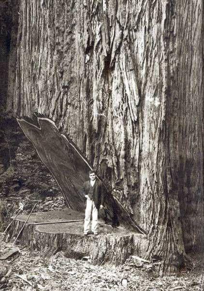 tiny man or giant tree?