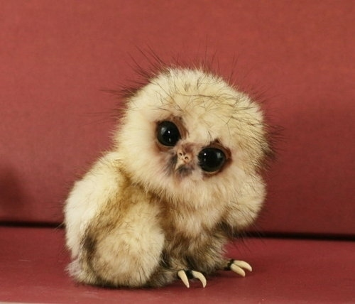just a baby owl
