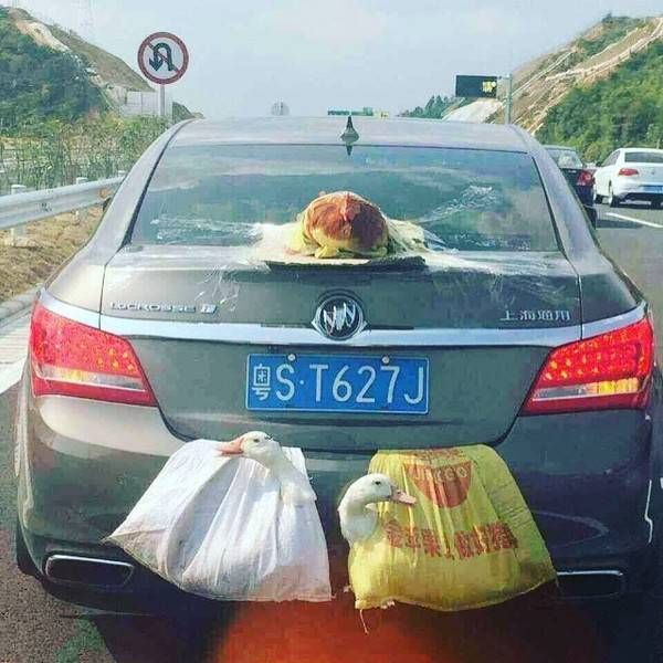 a car with lettuce tapped to the back and geese in plastic bags hanging out the trunk
