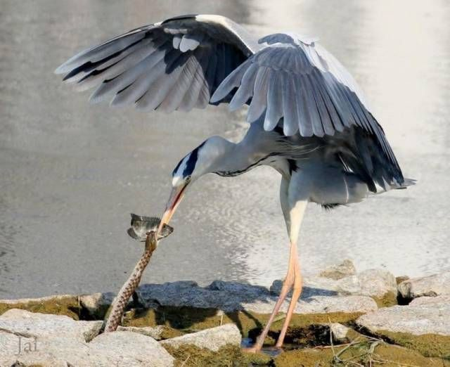 bird and snake fight over fish