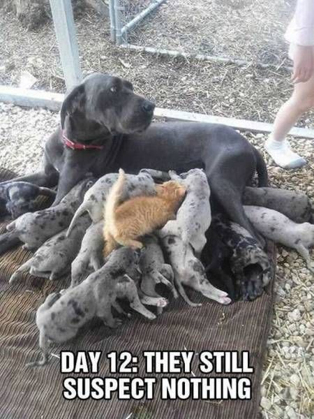 day 12 they still suspect nothing, kitten drinking dog milk