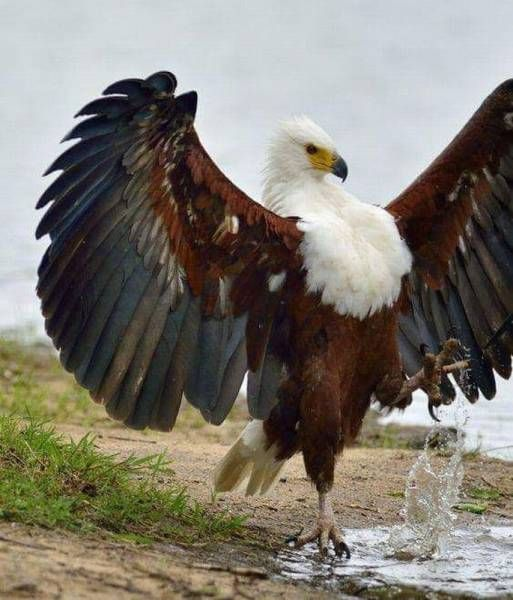 a fabulous eagle prancing around