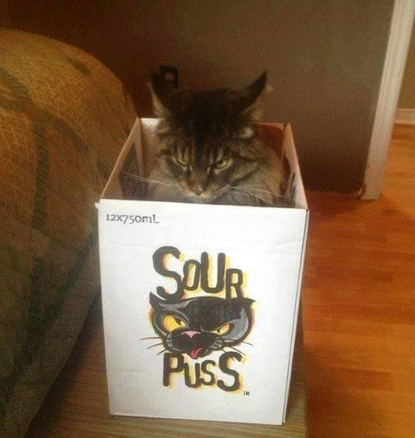 sour puss, grumpy cat in a box