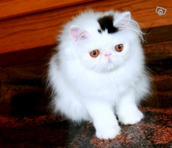 this kitten has a permanent top hat