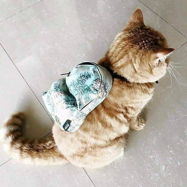 just a cat with a little backpack