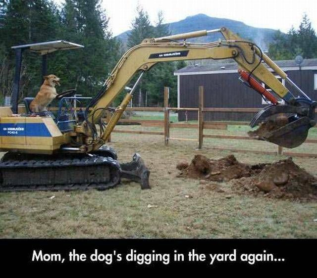 mom the dog's digging in the yard again, dog on excavator