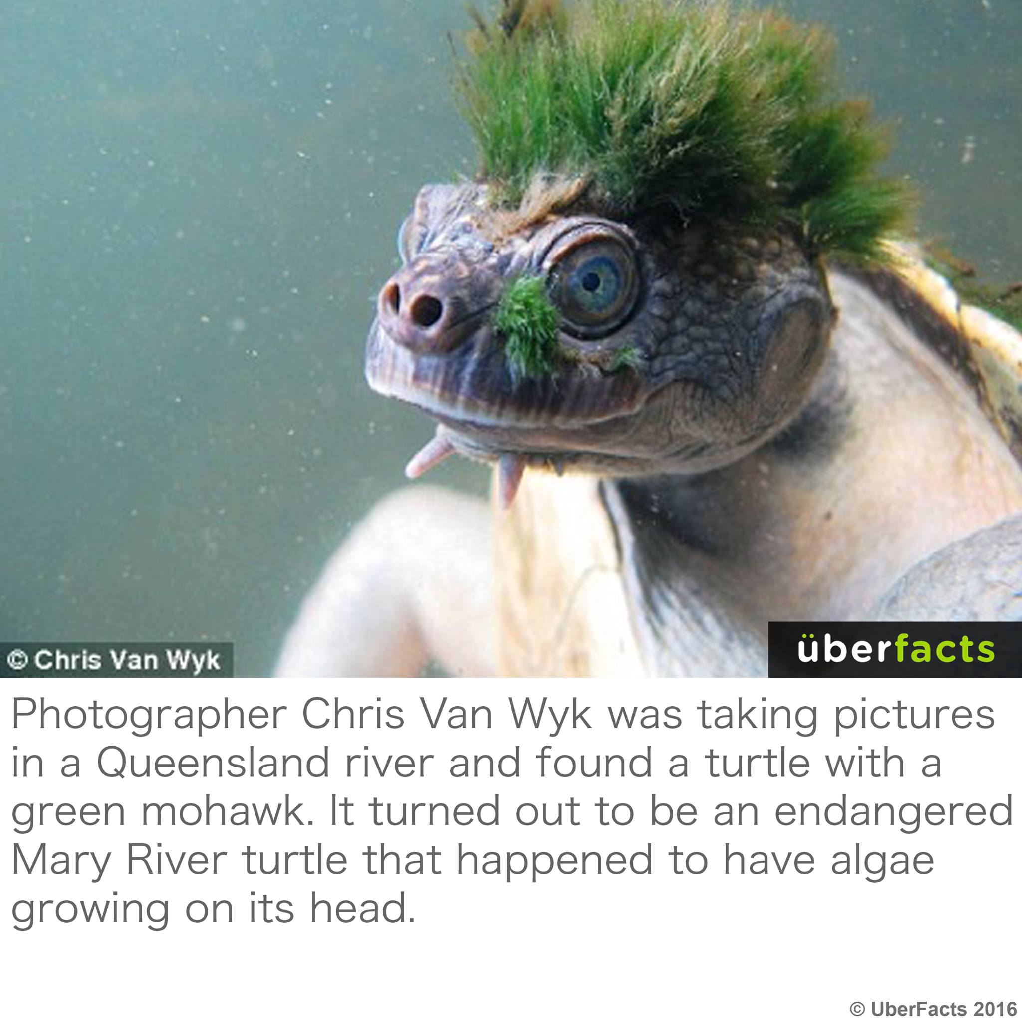 Mary river turtle algae - photo#39
