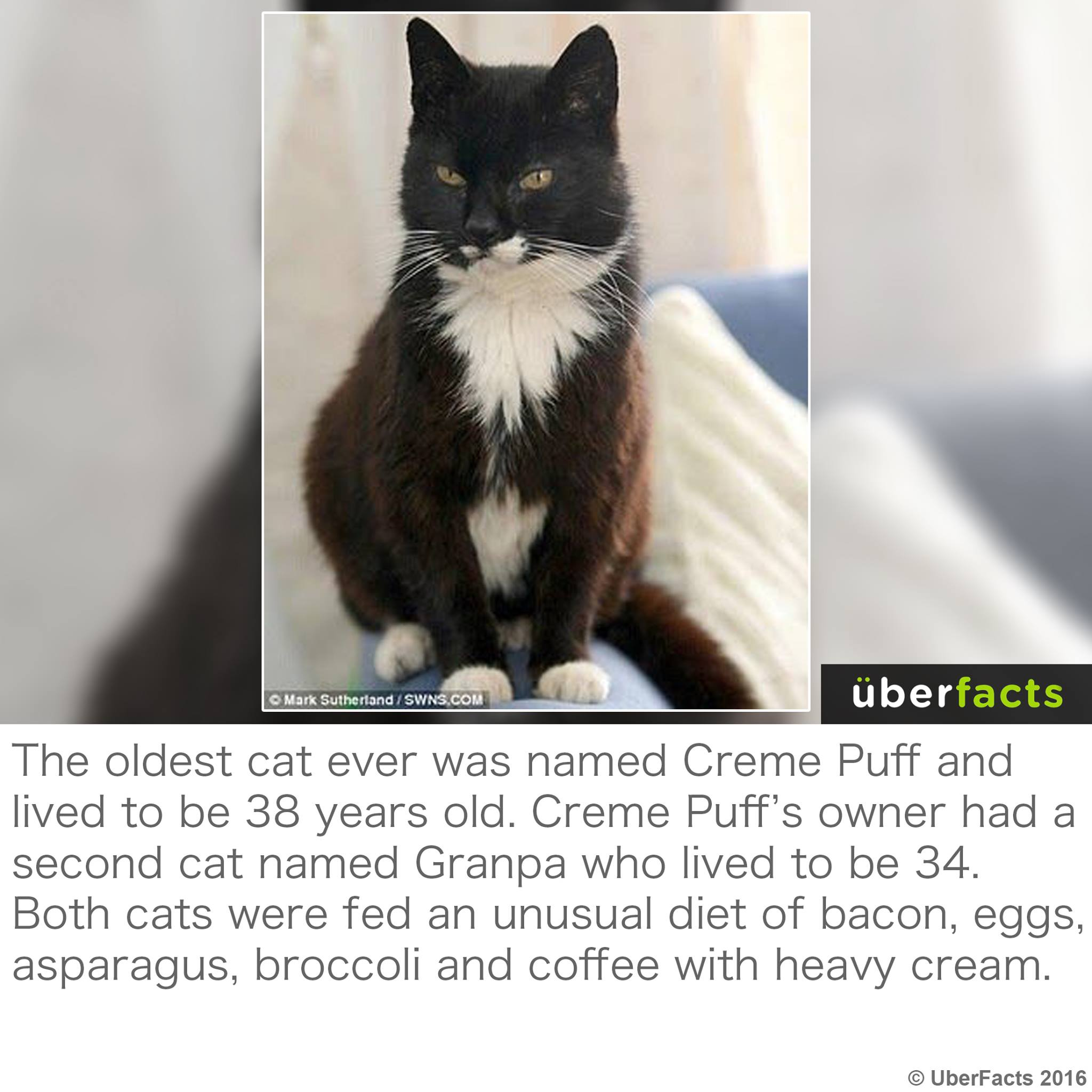 the oldest cat ever was named creme puff and lived to be 38 years old, cats were fed an unusual diet of bacon eggs asparagus broccoli and coffee with heavy cream