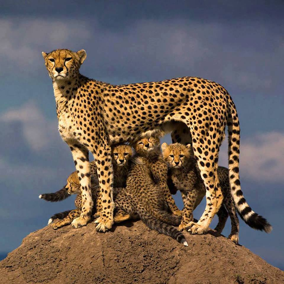 mother leopard and her young