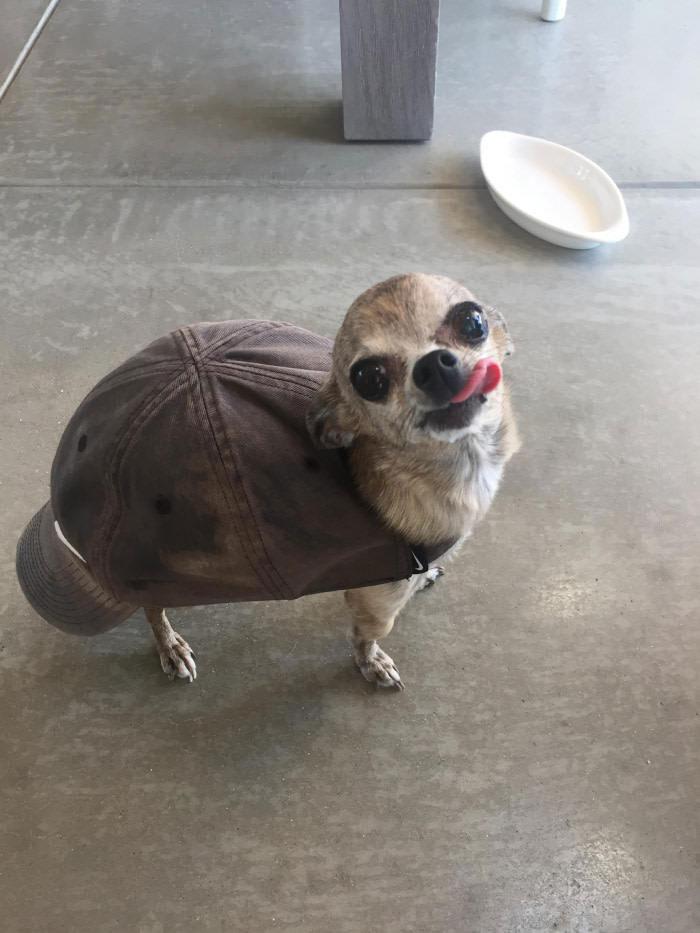 turtle dog, baseball cap on chihuahua