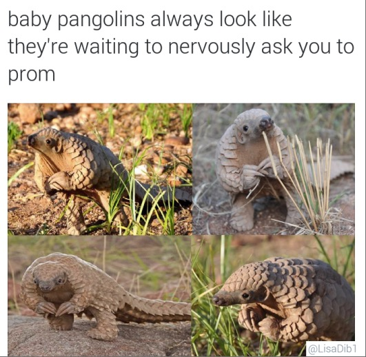 baby pangolins always look like they're waiting to nervously ask you to prom
