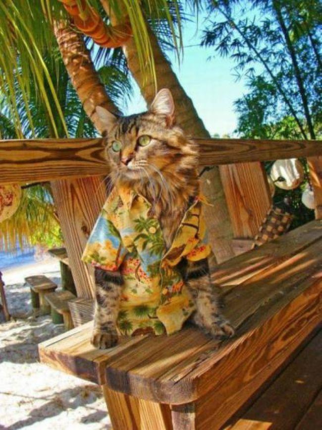 tropical shirt wearing cat