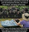 this powerful photo capture the moment 40 year old chimpanzee dorothy, who died of heart failure, was being carried away, behind the fence together all the chimpanzees stood silently