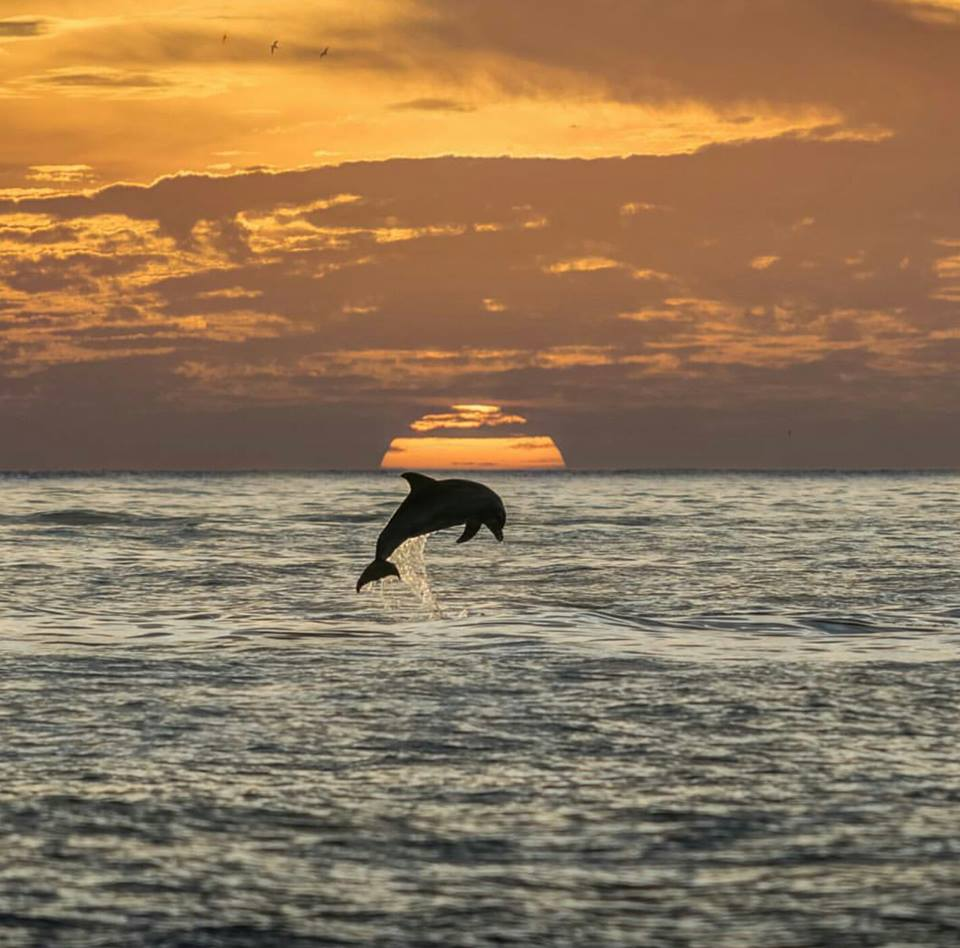 dolphin jumping out of the water in front of a sun set