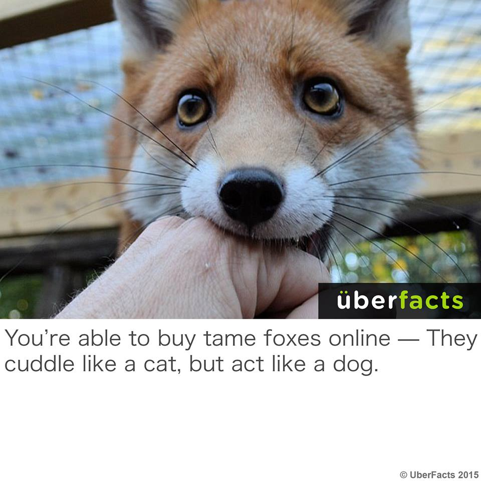 you're able to buy tame foxes online, they cuddle like a cat but act like a dog